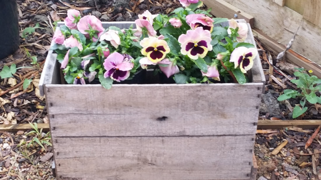 Pansies in vintage crate